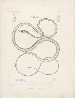 Engraving of snake species