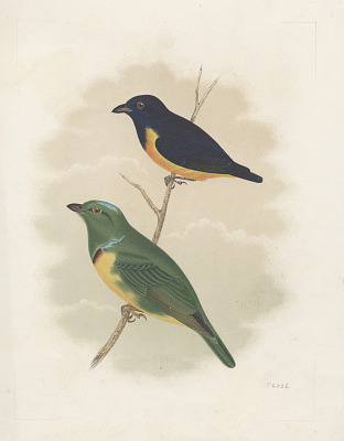 Chromolithograph of bird species