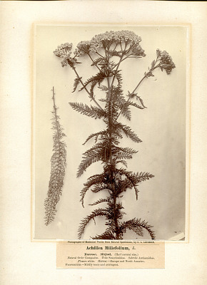 Achillea Millefolium, L. - Yarrow - Milfoil