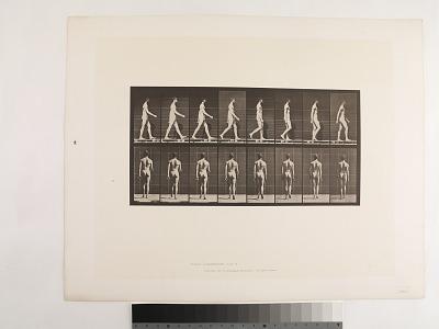 Animal Locomotion. Plate 8.