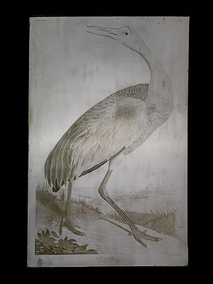 Hooping Crane, <I>Grus Americana</I> (Young)