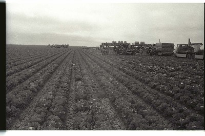 Braceros in Lettuce Field