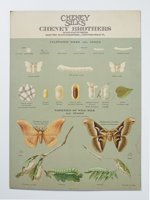 """Cheney Silks educational poster; """"Life stages of cultivated and wild silk moths"""""""