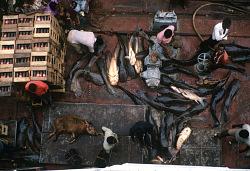 Catfish on deck of Congo River steamer Colonel Ebeya, near Kisangani, Congo (Democratic Republic), [slide]