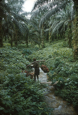 A worker at the Calabar Oil Palm Estate (COPE) carrying four big bunches of oil palm fruit to a central collection point, Calabar, Nigeria. [slide]