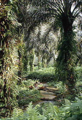 A worker at the Calabar Oil Palm Estate (COPE) carrying big bunches of oil palm fruit to a central collection point, Calabar, Nigeria. [slide]