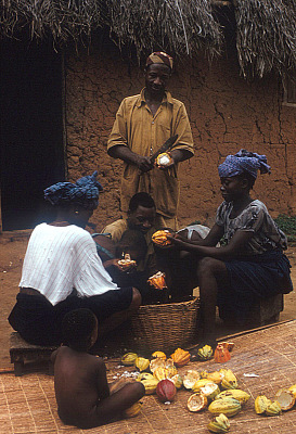 Yoruba farmer, with his family members, removing beans from cocoa pods, Adamo village, Nigeria. [slide]