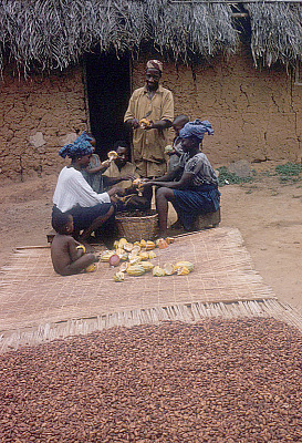 Yoruba farmer, with his family members, removing beans from cocoa pods, Adamo village, Nigeria. [slide]