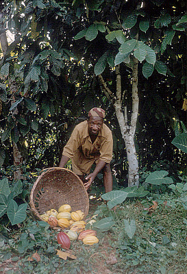 Yoruba farmer, Michael Ige, with cocoa pods, Adamo village, Nigeria. [slide]