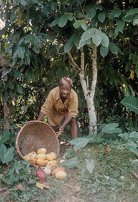 Yoruba farmer, Michael Ige, with cocoa pods, Adamo village, Nigeria. [slide]
