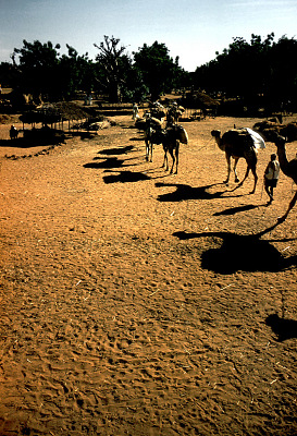 Dromedary camels walking to market loaded with ground nuts, Sokoto, Nigeria, [slide]