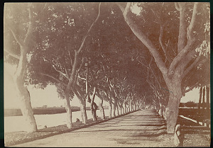images for Tree-Lined Road to Honor Prince of Wale's Visit, from Cairo To Giza Pyramids 1868-thumbnail 1