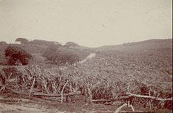 Sugar Cane Production in the 17th and 18th Century