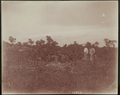 Group of Men Cutting Bamboo ?; Two Non-Native Men (One W. A. Cook ?), Watching 1901