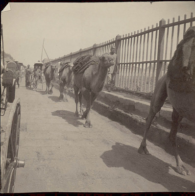 Camel Pack Train and Old Man in Costume Near Fence;Men With Jinrikshas Behind Them 1904