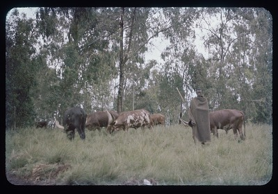 Tutsi herder with cows, circa 1957