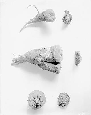 The Peyote or Mescal Plant (Sacred ceremonial medicine)
