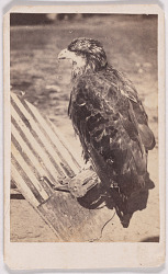 """""""Old Abe"""" Eagle of 8th Wisconsin Volunteers"""