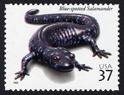37c Blue-spotted Salamander single