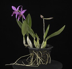 Laelia anceps 'Mr. Chrisman's First Orchid'