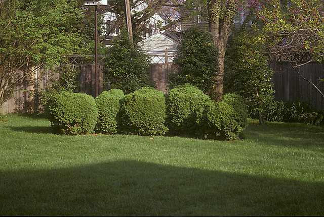 [Leachman Garden]: English boxwood between lawn and fence.