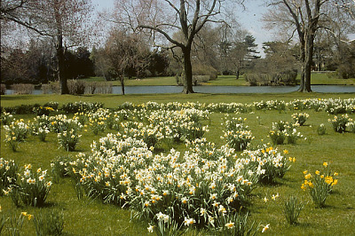 [The Admiralty] [slide (photograph)]: daffodil field with pond in background