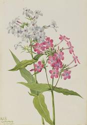 Perennial Phlox (Phlox paniculata)