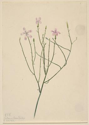Skeleton Flower (Lygodesmia juncea)