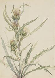 White Thistle (Cirsium hookeranum)
