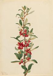 Canada Buffaloberry (Lepargyrea canadensis)