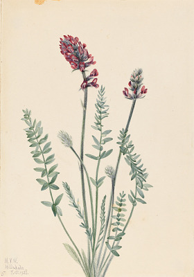 Showy Oxytrope (Oxytropis splendens)