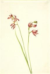 Grass-pink Orchid (Limodorum tuberosum)