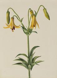 Canada Lily (Lilium canadense)
