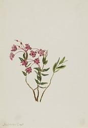 Rocky Mountain Kalmia (Kalmia microphylla)