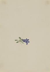 Alpine Harebell (Campanula lasiocarpa)