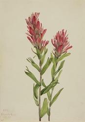 Alberta Paintbrush (Catilleja miniata)
