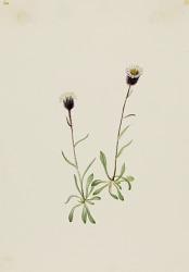 Aleutian Fleabane (Erigeron unalaschensis)