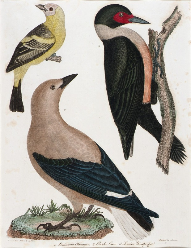 Image for Louisiana Tanager, Clark's Crow, Lewis' Woodpecker