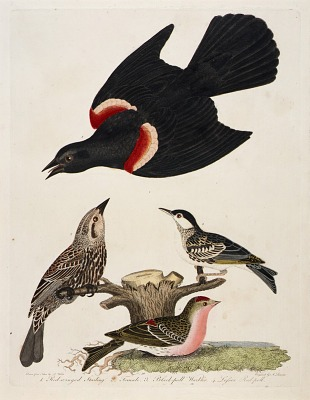 1. Red-winged Starling. 2. Female. 3. Black-poll Warbler. 4. Lesser Red-poll
