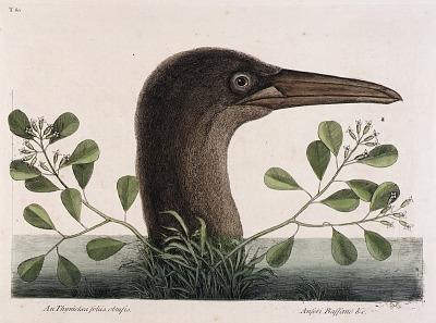 The Great Booby (An Thymelaea foliis obtusis, Anseri Bassano & c.)