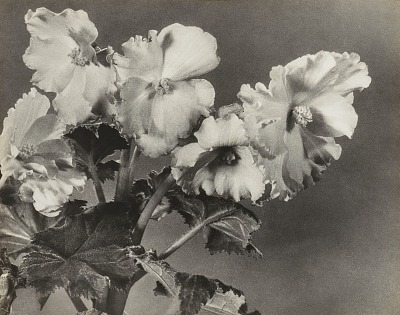 Untitled (Begonias)