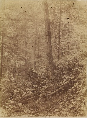 Untitled, from the portfolio The Forest: Adirondack Woods