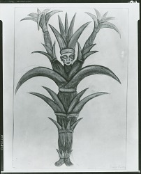 Sugar Cane [drawing] / (photographed by Peter A. Juley & Son)