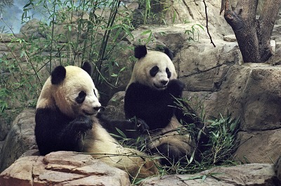 Giant Pandas Arrive at National Zoo