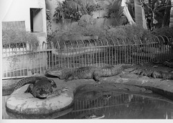 Alligators, Reptile House, National Zoo