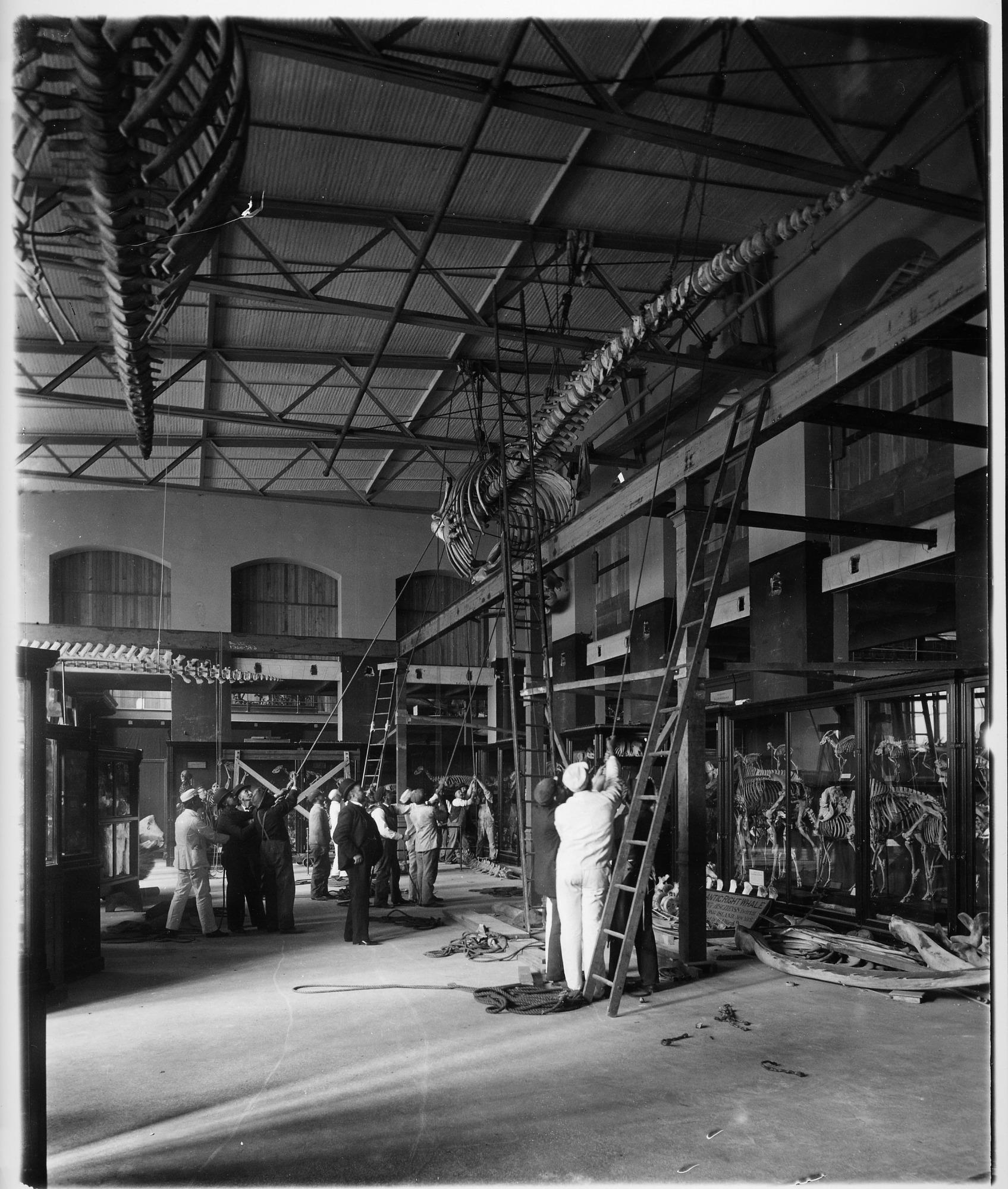 Comparative Anatomy Hall Installation, U.S. National Museum