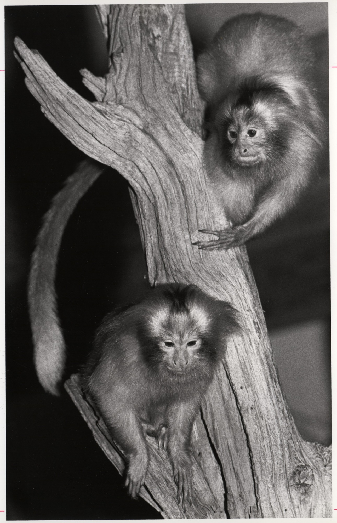 Golden Lion Tamarins, by Cohen, Jessie, 1983, Smithsonian Archives - History Div, 2003-19577.