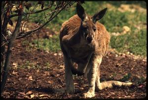 Image of Red Kangaroo at National Zoological Park