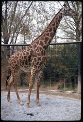 Masai Giraffe at National Zoological Park