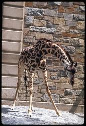 Young Masai Giraffe at National Zoological Park